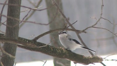 Northern Shrike on Branch,Watching Below,Exits