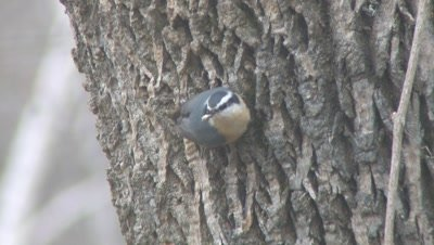 Red Breasted Nuthatch on Tree Trunk,Feeding,Takes Seed,Exits