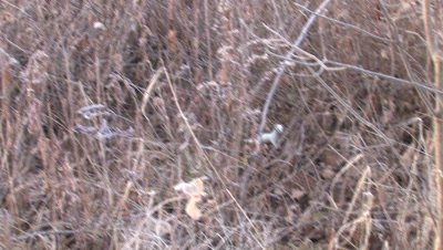 White Ermine Bouncing Through Dry Underbrush,Fast,Exits