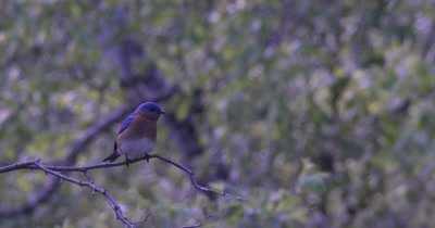 Male Eastern Bluebird on Branch,Watching,Exits