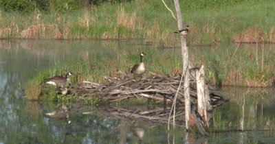 Canada Goose Scares Off Grackle,New Goslings Near Nest,Wood Ducks in Tree