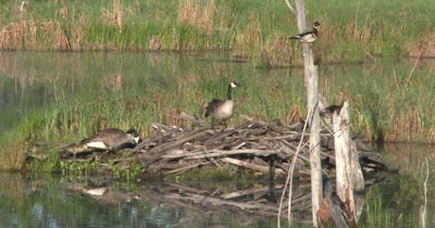 Spring Nesting,Canada Geese and New Goslings on Beaver Lodge,Wood Ducks in Tree