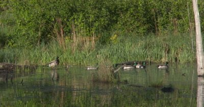 Mallard Ducks,Drakes,Swimming Single FIle in Pond,All Exit,One Lags Behind
