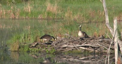 Canada Geese and New Goslings,on Beaver Lodge