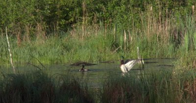 Pair of Mallard Ducks,Drakes Swimming in Pond,Flapping Wings,Exit
