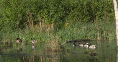 Mallard Ducks,Drakes Swimming,Mingling in Pond