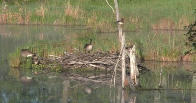 Canada Geese with Newly Hatched Young Goslings On Beaver Lodge,Wood Ducks in Trees