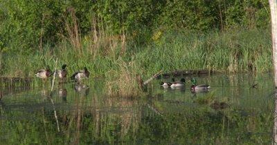 Mallard Drakes,Ducks Mingling in Spring Pond,One Flies Off,Exits