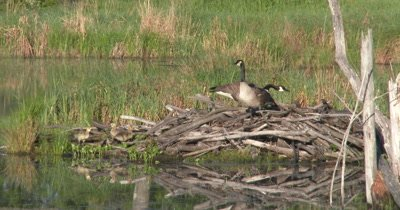 Canada Geese on Nest on Beaver Lodge,Newly Hatched Goslings