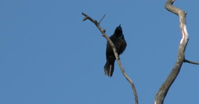 Grackle on Branch,Calls