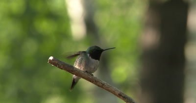 Male Ruby Throated Hummingbird Enters,Land on Branch,Exits