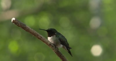 Male Ruby Throated Hummingbird on Branch,Exits