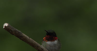 Male Ruby Throated Hummingbird on Branch,Twilight,Exits