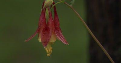 Columbine Flower in Spring
