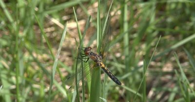 Four Spotted Skimmer Dragonfly Hunting,Looking for Prey While Hanging on To Grass,Wind Blows Down
