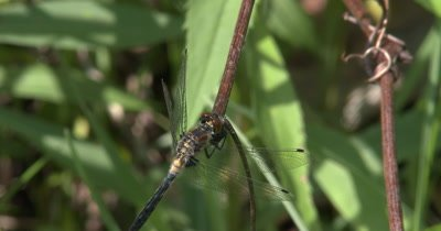 Four Spotted Skimmer Dragonfly Resting on Grass Stem,Hunting,Looking Up and At Camera