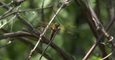 Four Spotted Skimmer Dragonfly Perched on Tip of Branch,Moves Head,Looking About