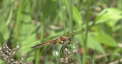 Four Spotted Skimmer Dragonfly Hunting from Perch on Dry Grass