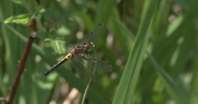 Four Spotted Skimmer Dragonfly Perched at Tip of Dry Stem,Twisting and Moving Head,Hunting