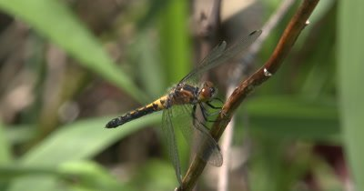Four Spotted Skimmer Dragonfly Hunting From Perch,Watching As Insects Pass By,Twisting Head