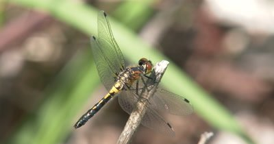 Four Spotted Skimmer Dragonfly Hunting from Perch,Twisting Head to Look