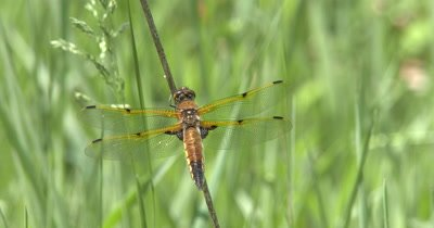 Four Spotted Skimmer Dragonfly Hunting from Perch,Watching Prey,Moving Head