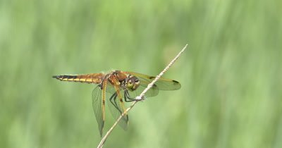 Four Spotted Skimmer Dragonfly On Wild Ride in Wind,Perch Blowing Around