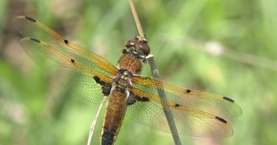 Four Spotted Skimmer Dragonfly Hunting from Windy Perch