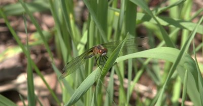 Four Spotted Skimmer Dragonfly Facing Camera,Resting on Grass,Moving Head