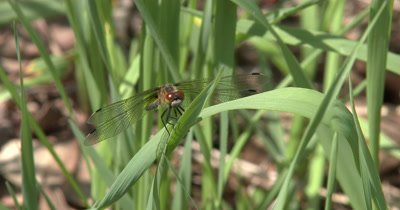 Four Spotted Skimmer Dragonfly on Grass Leaf,Watching for Prey,Moves Head