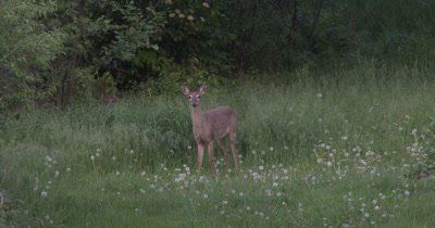White-tailed Deer, Does,Standing Still,One Hidden,Head Only Visible