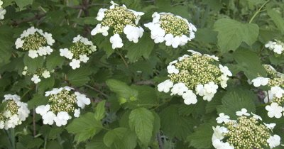 High Bush Cranberry Blossoms