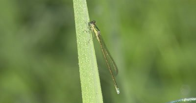 Sedge Sprite,Female Damselfly on Grass,Gentle Breeze
