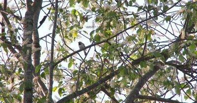 Black Throated Green Warbler Preening and Singing in Tree