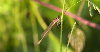 Eastern Fork-tail Damselfly,Female Hanging,Resting on Grass Stem