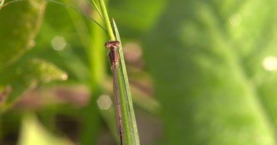 Eastern Fork-tail Damselfly Resting on Grass Stem,Female