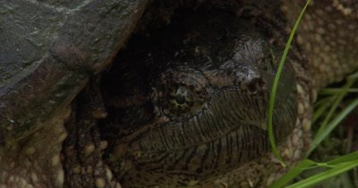 Snapping Turtle,Close Up Snapping Turtle Face