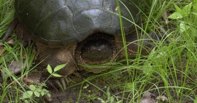 Snapping Turtle,ZI to CU Face,Turtle Moves Head to Right of Frame