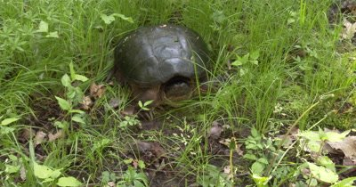 Snapping Turtle in Grass,ZI to CU Face,Turtles Eyes Move