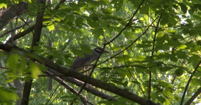 Yellow Crowned Night Heron Standing in Tree