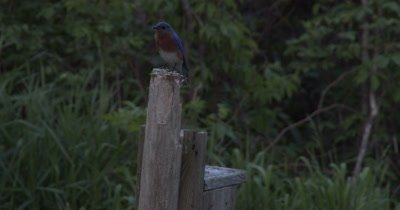 Eastern Bluebird,Male on Post,Looking Down,Around,in Twilight,Evening