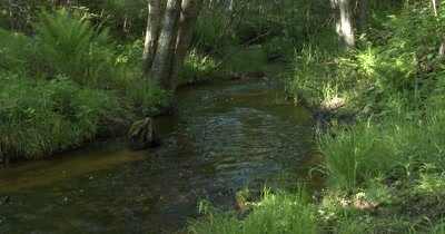 Small Stream Running Through Wooded Area,Ferns