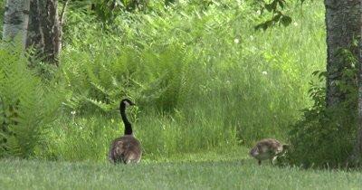 Canada Goose Parent,Guarding Feeding Goslings