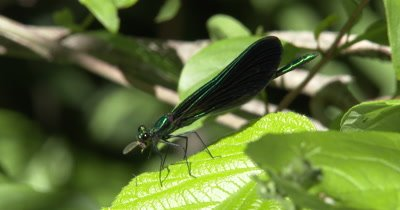 Ebony Jewelwing Damselfly Feeding on Mosquito