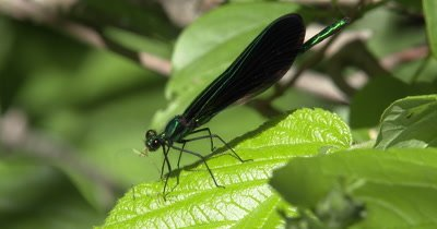 Ebony Jewelwing Damselfly Feeding on Mosquito,Last of Mosquito