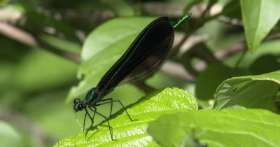 Ebony Jewelwing Damselfly Feeding,Last Leg of Mosquito