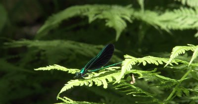 Ebony Jewelwing,Damselfly,Riding on Gentle Breeze on Fern Leaf