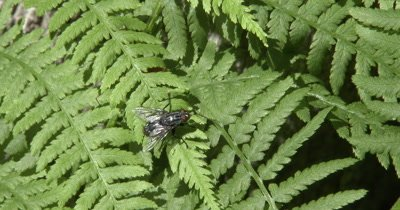 Common Fly on Fern Leaf,Spider Comes Beneath to Try and Catch Fly,Fly Exits