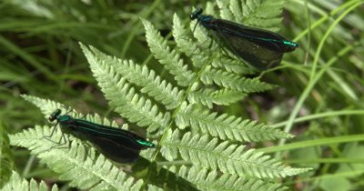 Ebony Jewelwing,Damselfly Males,Pair,Riding on Gentle Breeze,One Exits