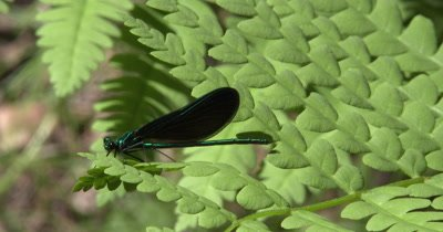 Ebony Jewelwing,Damselfly,Male,Resting on Fern Leaf